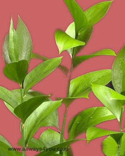 Green Israeli Ruscus Flowers